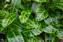 Close Up Dumb Cane Leaves Or D...