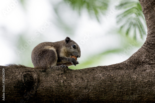 Fotografie, Obraz  Variable Squirrel eating fruit on the trees