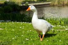 Beautiful White Goose In A Lake