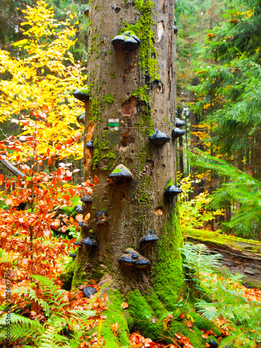 Polypores mushrooms on a tree trunk in colorful autumn primeval forest Fototapet