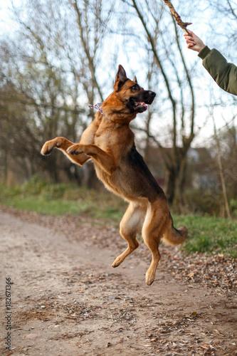 Fotografie, Obraz  Немецкая овчарка в прыжке