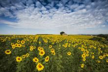 Sunflower Field Near Valensole...