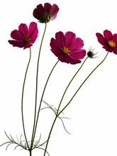 Garden Cosmos, Asters, Blossom...