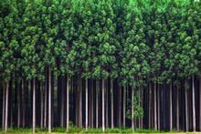 整然たる杉林