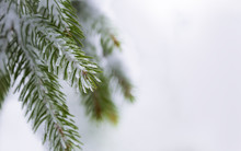 Branches Of Coniferous Tree In Snow And Ice