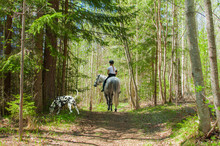 Dalmatian With Horse And Rider In The Woods