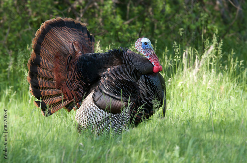 Wild turkey strutting through the meadow