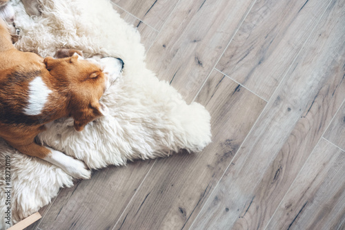 fototapeta na lodówkę Beagle dog sleeps on sheepskin