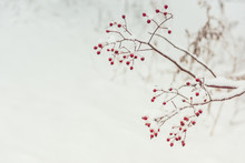 A Branch With Red Berries Covered With Fluffy Snow. Winter Is A Beautiful View. Very Soft Selective Focus.