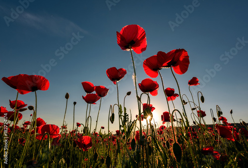 In de dag Poppy field of red poppy flower with sunburst shot from below. beautiful nature background against the blue sky
