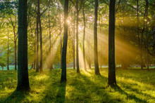 Sunbeams Shine Through The Forest