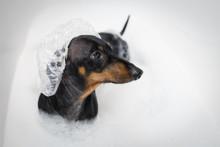 Happy  Dog Dachshund, Black A...
