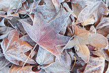 Iced Leaves 2