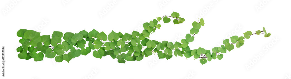 Fototapety, obrazy: Heart shaped green leaves with bud flower climbing vines tropical plant isolated on white background, clipping path included