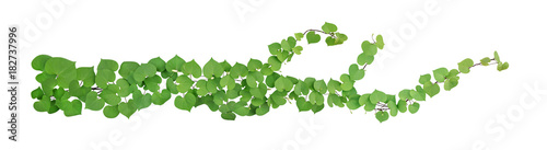 Foto op Aluminium Planten Heart shaped green leaves with bud flower climbing vines tropical plant isolated on white background, clipping path included