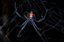 Black Widow In Web