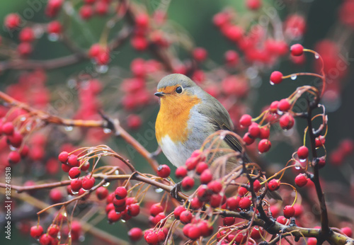 European robin sits on a hawthorn bush wit a red berries and rain drops on them