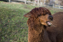 Brown Lama With Funny Haircut Chewing Grass
