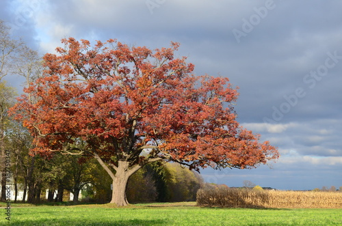 Large old red oak tree along a winding drive on a farm in Autumn