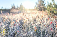 Many Colorful Red Blueberry Bushes In Autumn Fall Showing Detail, Texture And Pattern With Frost Snow Sunrise Dawn In West Virginia