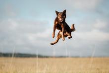 Dog Kelpie Plays