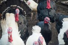 Group Of Turkeys On A Farm, Cl...