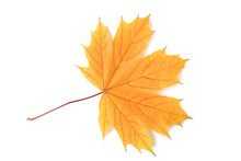 Dry Maple Leaf Isolated On A White Background