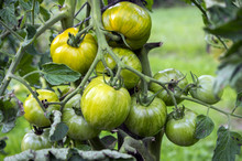 Ripening Yellow Green Tomatoes In Garden, Ready To Harvest