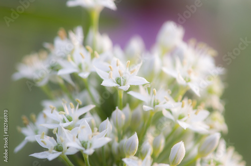 White Cluster Of Flowers Herbs Macro Soft Focus Buy This Stock