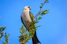 A Watchful Mississippi Kite (I...
