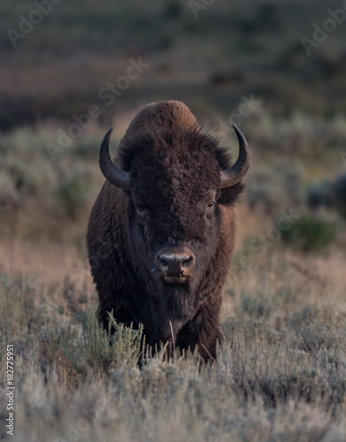 Spoed Foto op Canvas Bison Male Bison Stares at Camera