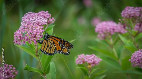 Fotografie, Obraz  Monarch butterfly on a flower