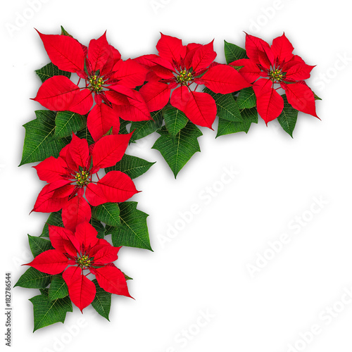 Poinsettia flowers christmas decoration Wallpaper Mural