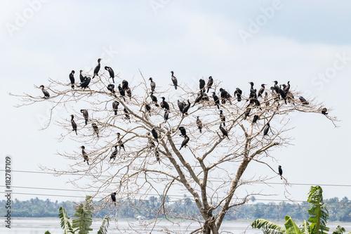 Fotografie, Obraz  Indian Cormorant in Kerala backwater