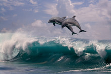 Two Dolphins Jumping From Sea Water Over Ocean Wave