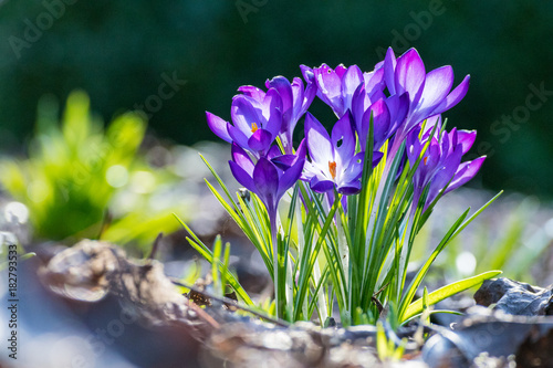Foto op Canvas Krokussen bunch of purple Crocus with blur background