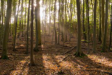 Sonnenstrahlen im Buchenwald auf Insel Rügen