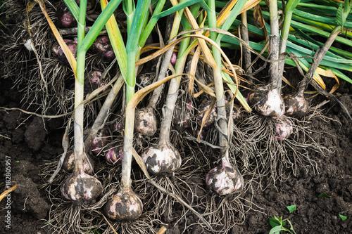 Harvesting garlic in the garden