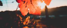 Foglie Rosse Nella Vigna In Autunno Con Raggi Solari