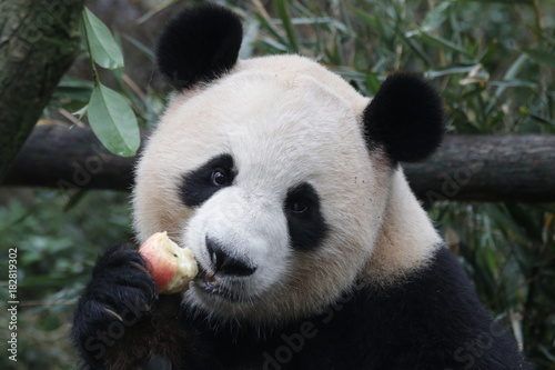 Stickers pour porte Panda Giant Panda is Eating Bamboo Biscuit, China