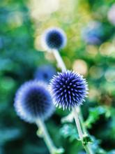Globe Thistle Flower Heads (Ec...