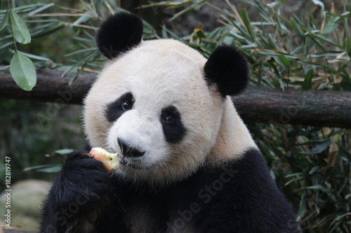 Stickers pour porte Panda Giant Panda is Eating an Apple, China