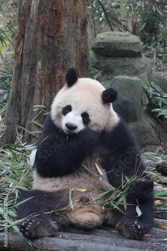 Stickers pour portes Panda Playful Female Panda name, Yuan Run, China