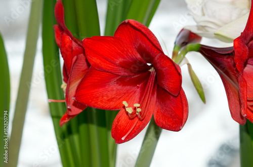 Photo Red amaryllis blooming on window sill indoors