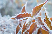 First Frost And Frozen Leaves