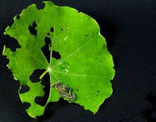 Catterpillars Eating Green Leaf