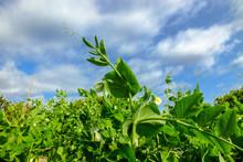 Pea Plant Under Blue Sky