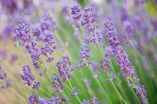 Lavender Blossoms