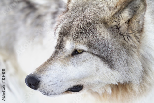 Foto op Aluminium Wolf Timber wolf or Grey Wolf (Canis lupus) portrait closeup in winter snow in Canada