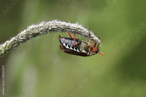 Foto  European cockchafer beetle, also known as  May bug or doodlebug, on a blade of g